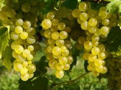 Weingut Jochen Mayer - Weiße Trauben